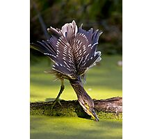 Juvenile Black Crowned Night Heron - Mudd Lake Ottawa Photographic Print
