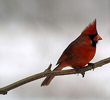 Red Cardinal~Ohio State Bird by Gaby Swanson  Photography