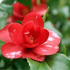 beautiful red camellia flower and green leaves. floral garden plant photography. by naturematters