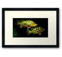 Peacock Bass - Cichla monoculus Framed Print