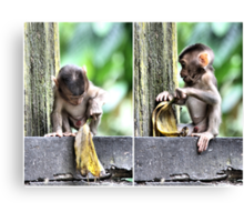 Pig-tailed Macaque Baby Playing, Borneo  Canvas Print