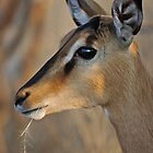 Blackfaced Impala by Peter Bland