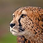 Cheetah by Peter Bland