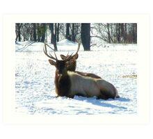 Elk on Hunting Reserve Art Print