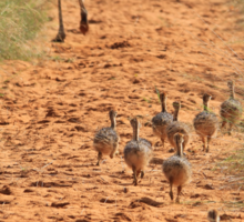 Ostrich Family - Running after Mom. Sticker