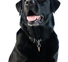 Black Labrador retriever by JH-Image