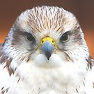 Saker Falcon  by jdmphotography