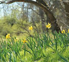 Daffodils on a sunny spring day by KerstinB