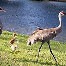 Little Family of Sandhill Cranes by Carolyn Bishop