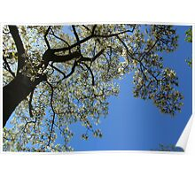 Blossoming white magnolia tree against blue sky in spring Poster