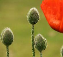 Poppy flower and buds by KerstinB