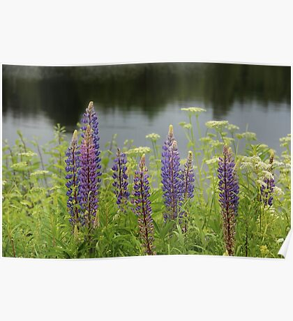Lupin flowers at a lake Poster