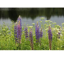 Lupin flowers at a lake Photographic Print