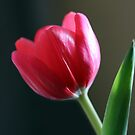 Sun Kissed Tulip II by Lesley Smitheringale
