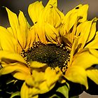 122014 sunflower by pcfyi