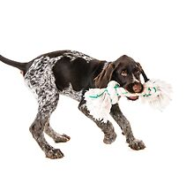 Playing German wire-haired pointer puppy by JH-Image