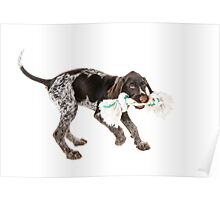 Playing German wire-haired pointer puppy Poster