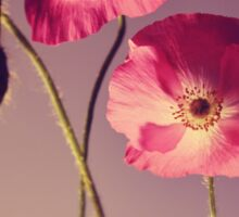Bright pink poppies  Sticker