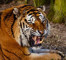 Siberian Tiger roar by Dave  Knowles