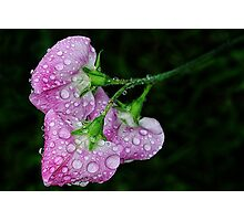 Sweet Pea Photographic Print