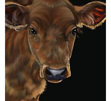 South West Calf Photographic Print