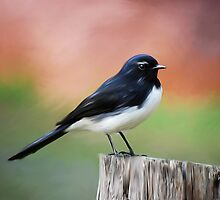Willy Wagtail by Michelle Wrighton