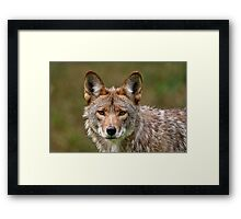 Coyote Portrait  Framed Print