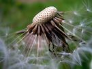 Dandelion Seeds by Aaron Campbell