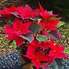 Poinsettias for Christmas by lezvee