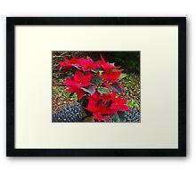 Poinsettias for Christmas Framed Print