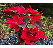 Poinsettias for Christmas Photographic Print