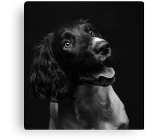 Working english springer spaniel Canvas Print