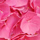 Hydrangea Petals by Kathleen Struckle