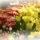 Spring Tulips by Kathleen Struckle