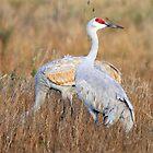 Sand Hill Cranes by SuddenJim