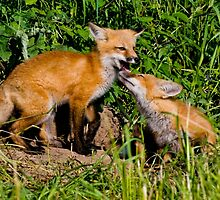 Fox Kits 3 by Michael Cummings