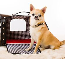 Chihuahua and pet carry case by JH-Image
