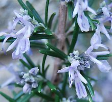 Rosemary by Karen Martin