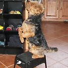 Tucker on a stool by barnsis