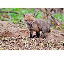 Fox Kit on Den - Ottawa, Ontario Photographic Print