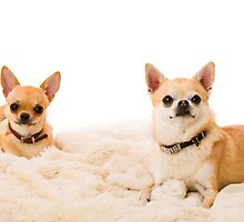 Two chihuahuas by JH-Image