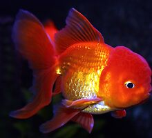 Fancy Goldfish  by Johnny Furlotte