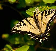 Tiger Swallowtail by Michael Cummings