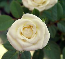 Small White Rose by Wanda  Mascari