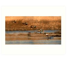 Northern Shoveler - Flying Sequence Art Print