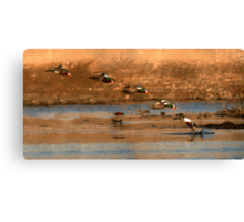 Northern Shoveler - Flying Sequence Canvas Print
