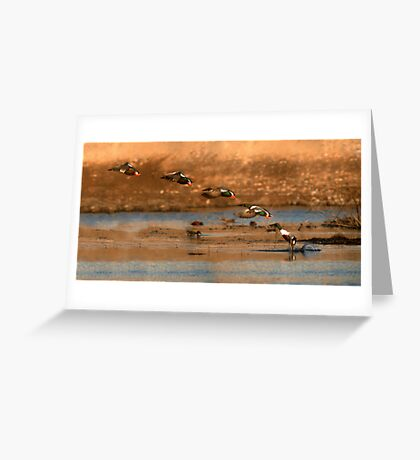 Northern Shoveler - Flying Sequence Greeting Card