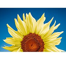 Sunflower close-up - blue background Photographic Print
