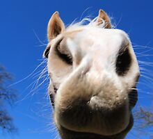 I can SMELL you: Face-to-horseface by Lenny La Rue, IPA