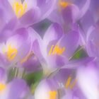 Crocus,  pillow, tote  ,mug ,Iphone etc ,etc. by relayer51
